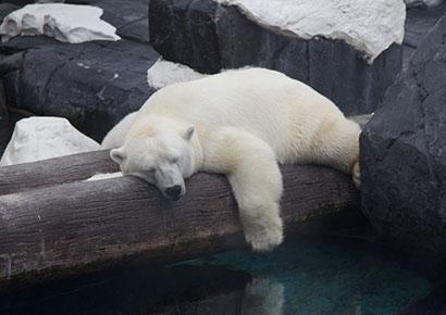 Gay polar bear
